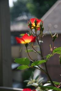 20080517_flower_1