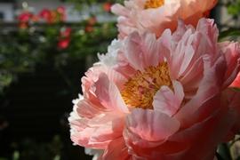 20080517_flower_3
