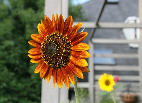 20080726_sunflower_1