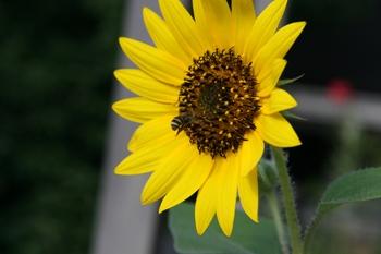 20080726_sunflower_2