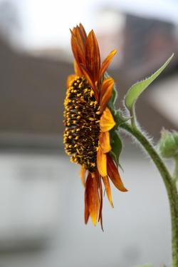 20080726_sunflower_3