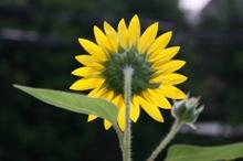 20080726_sunflower_4
