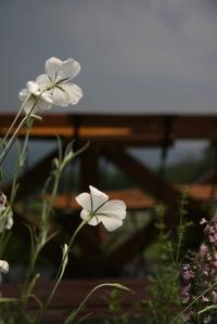 080809_kiyosato_afterrain_flower