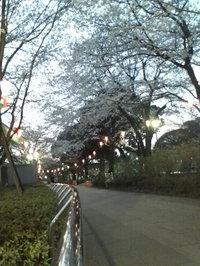 20090403_sakura1