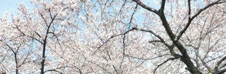 20100410_sakura