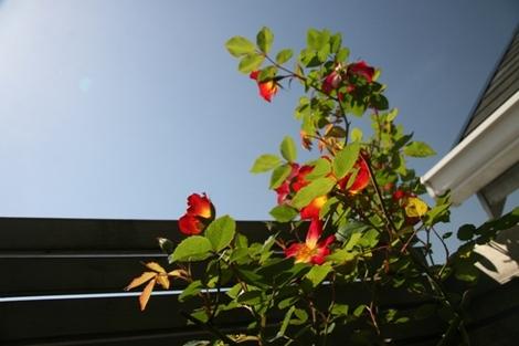 20100509_rose