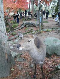 20111203_nara_deer_2