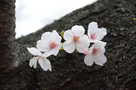 20130320_hd_blossom