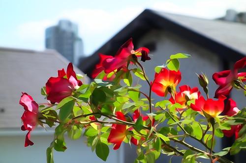 20130428_flower2