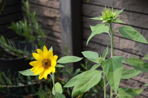 20130810_sunflower